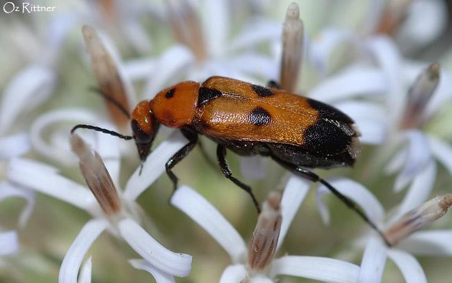 Nemognatha chrysomelina