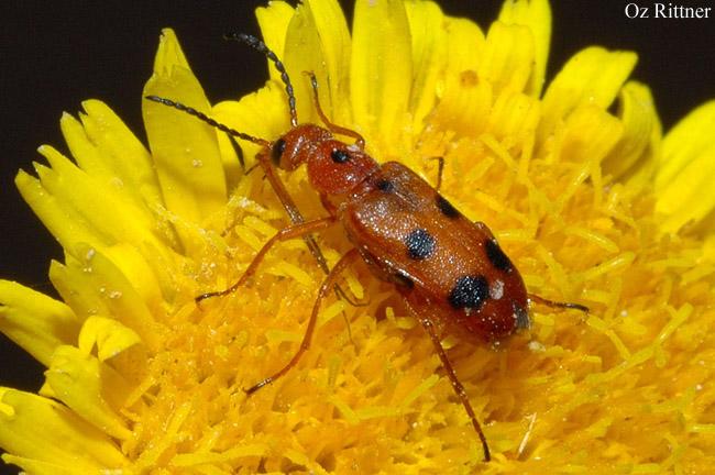 Nemognatha quinquemaculata