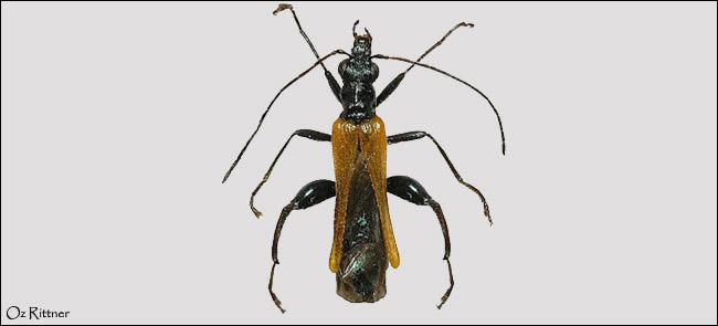 Oedemera flavipennis
