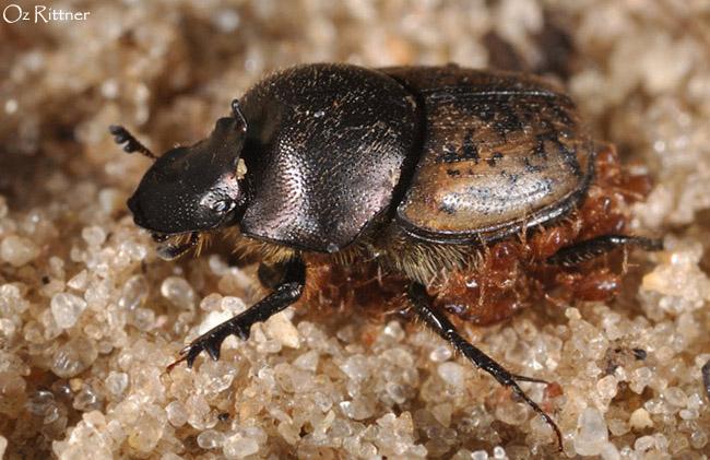 Onthophagus fracticornis