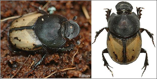 Onthophagus truchmanus