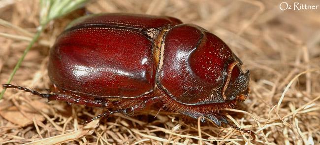Oryctes nasicornis kuntzeni Female