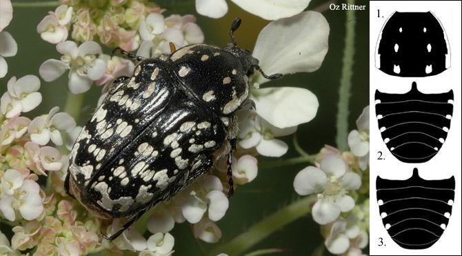 Oxythyrea noemi