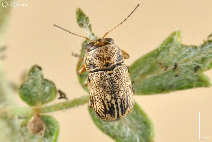 Pachybrachis jordanicus