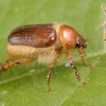 Pachydema albipilis