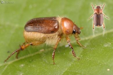 Pachydema albipilis Gallery