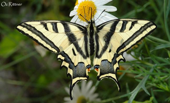 Papilio alexanor maccabaeus