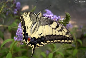 Papilio-machaon-syriacus