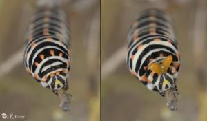 Papilio machaon syriacus Larva 2
