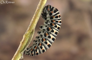 Papilio machaon syriacus larva pupation