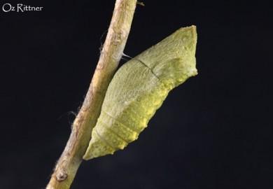 Papilio machaon syriacus pupa