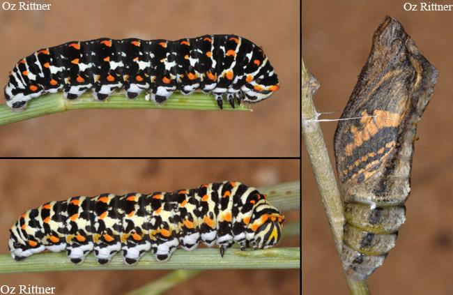 Papilio saharae 1