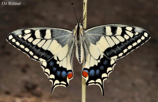Papilio saharae
