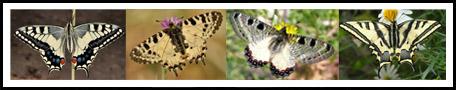 משפחת הצבעוניים Papilionidae