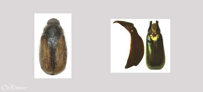 Paratriodonta olivieri