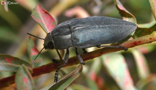 Perotis cupratus