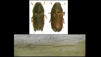 Phloeosinus armatus