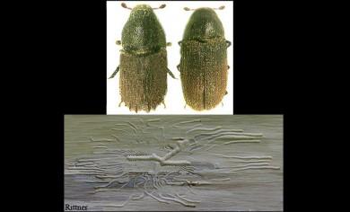 Phloeosinus aubei
