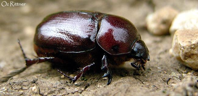 Phylognathus excavatus Female