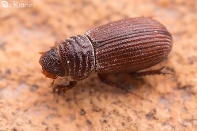 Rhyssemodes orientalis