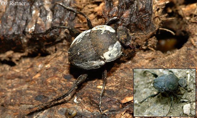 Sisyphus schaefferi  boschnakii