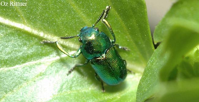 Smaragdina viridana