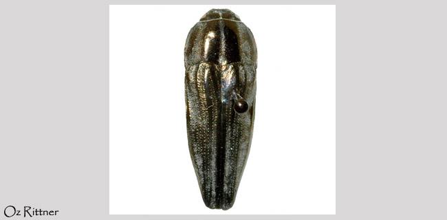 Sphenoptera lapidaria