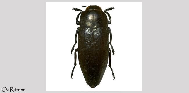 Sphenoptera magna