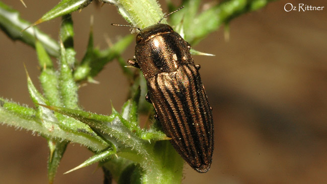 Sphenoptera sculpticollis