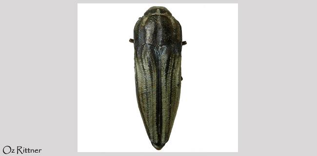 Sphenoptera trisulcata