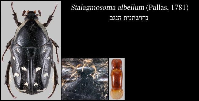 Stalagmosoma albellum