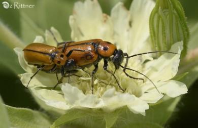 Stenodera oculifera 1