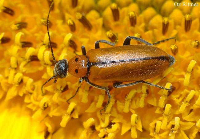 Stenodera oculifera