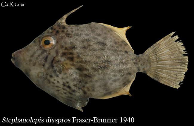 Stephanolepis diaspros