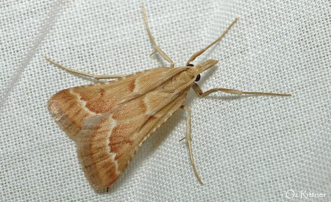 Synaphe morbidalis