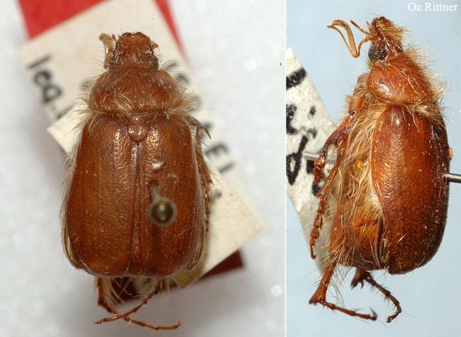 Tanyproctus nabataeus