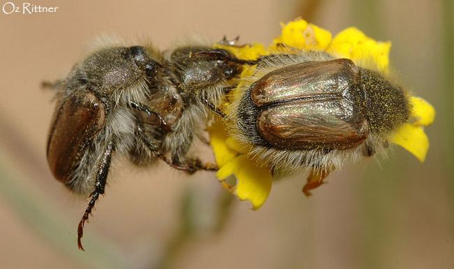 Tribopertha aegyptiaca