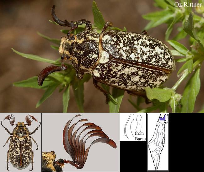 Web Polyphylla olivieri