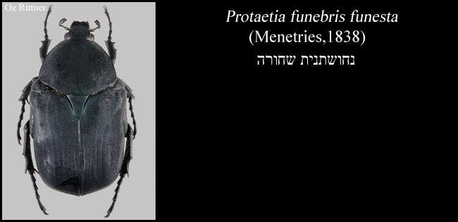 Web Protaetia funebris funesta