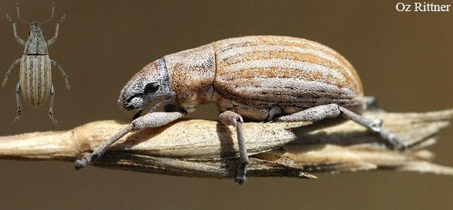 Achradidius ochraceus