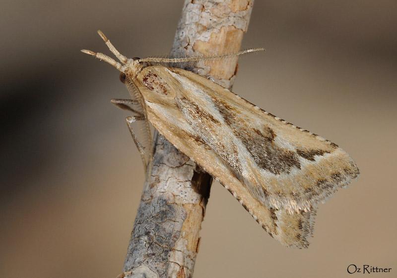 Achyra ustrinalis