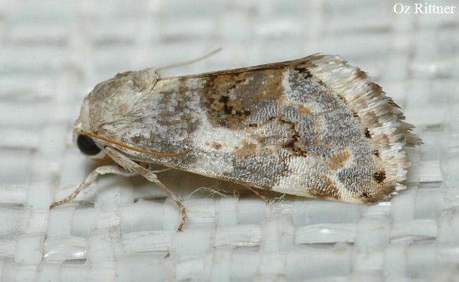 Acontia biskrensis