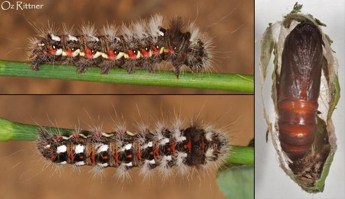 Acronicta rumicis Larva pupa