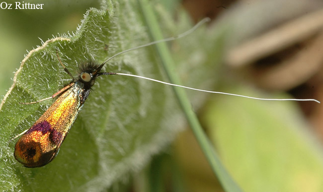 Adelidae sp
