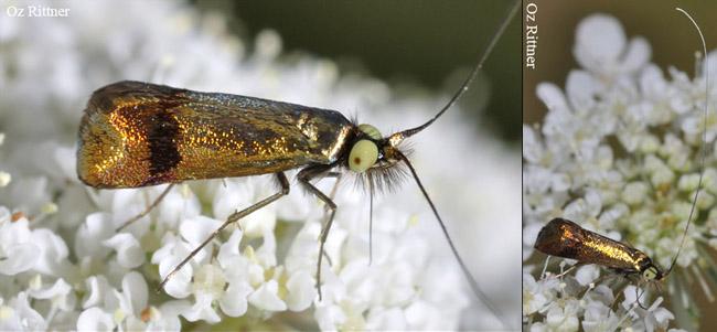 Nemophora fasciella