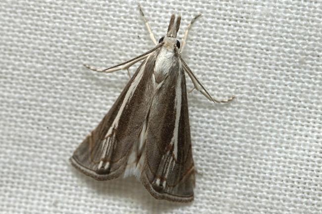 Agriphila sp