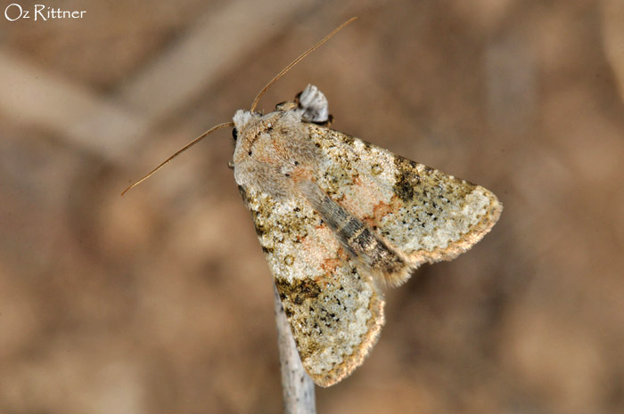Agrochola hypotaenia