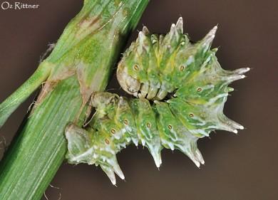 Apochima flabellaria Larva