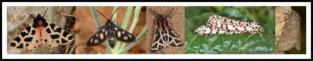 Arctiinae