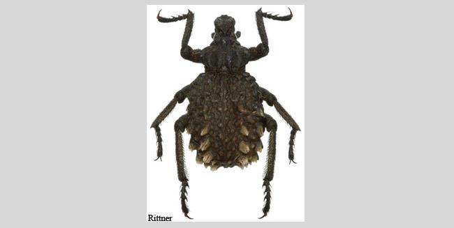Brachycerus aegyptiacus